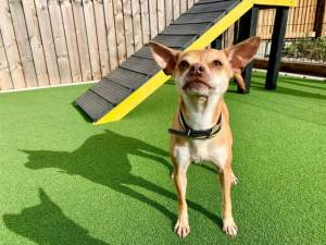 Minnie - Female Chihuahua: Short Hr Photo