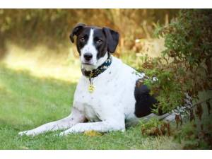 Stanley - Male Pointer: English Photo