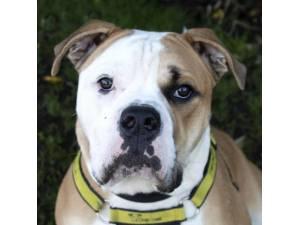 Loki - Male Bulldog: English Photo