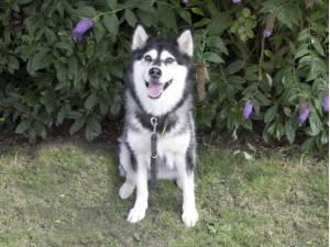 Sasha - Female Alaskan Malamute Photo