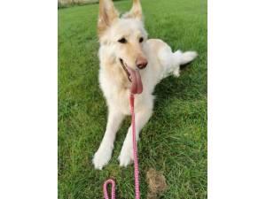 Honey - Female German Shepherd Dog Photo