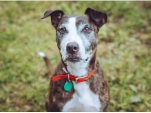 KELLY - Staffordshire Bull Terrier  crossbreed Photo