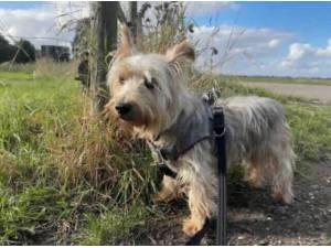 BRAMBLE - Yorkshire Terrier Photo