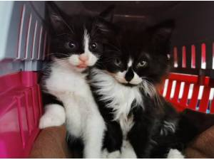 NEWT  AND THESEUS - Domestic Longhair  crossbreed Photo