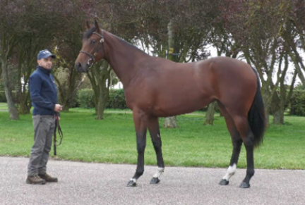 <p>622 MUHAARAR ex BELLA LULU | Bay Filly | Purchased at Tattersalls October Yearling Sale Book 2 2020 for 100,000gns by Blue Diamond Stud Farm UK</p>