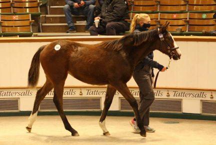 <p>980 FRANKEL ex BALLET DE LA REINE | Bay Filly | Purchased at Tattersalls Dec. Foal Sale 2020 for 220,000gns by C Gordon Watson Bloodstock / Al Wasmiyah</p>