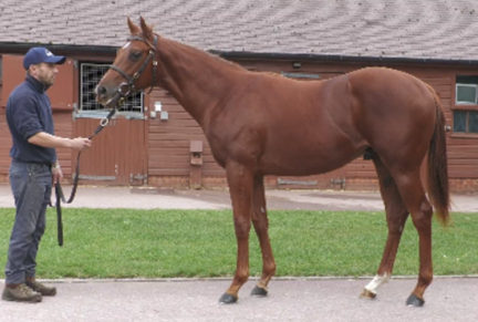 <p>794 SIYOUNI ex FOLK OPERA | Chesnut Colt | Purchased at Tattersalls October Yearling Sale Book 2 2020 for 110,000gns by SackvilleDonald</p>