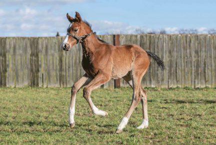 <p>Bay Colt ex GLADE (Bertolini) at 4 weeks old</p>