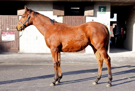 <p>Bay Colt ex MURHIBAANY (Elusive Quality) | Purchased at Goffs November Foal Sale 2019 for €120,000 by D Farrington / Aclaim Partners</p>