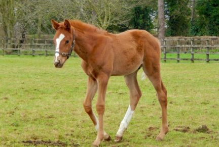 <p>Chestnut Colt ex MADAME ROUGE (Major Cadeaux) at 6 weeks old</p>