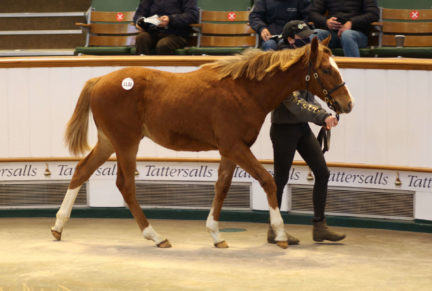 <p>Chestnut Colt ex BAKOURA (Green Desert) | Purchased at Tattersalls December Foal Sale 2020 for 50,000gns by Phil Cunningham</p>