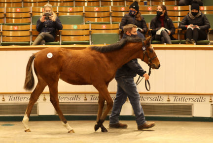 <p>Bay Colt ex LOUYA (Verglas)   Purchased at Tattersalls December Foal Sale 2020 for 46,000gns by Redpender Stud</p>