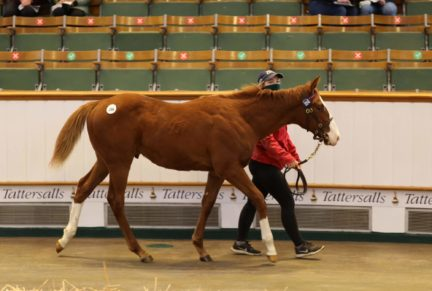 <p>Chestnut Colt ex LUCIA DE MEDICI (Medicean) | Purchased at Tattersalls December Foal Sale 2020 for 37,000gns by Larry Stratton</p>
