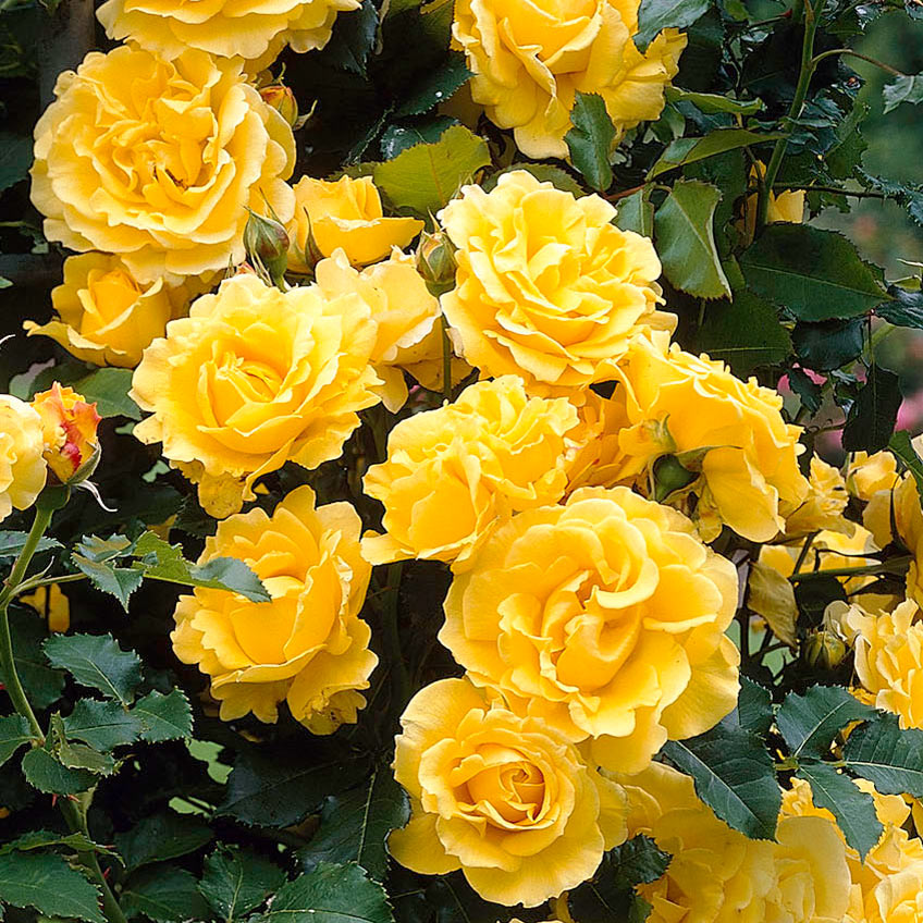Climbing golden showers rose