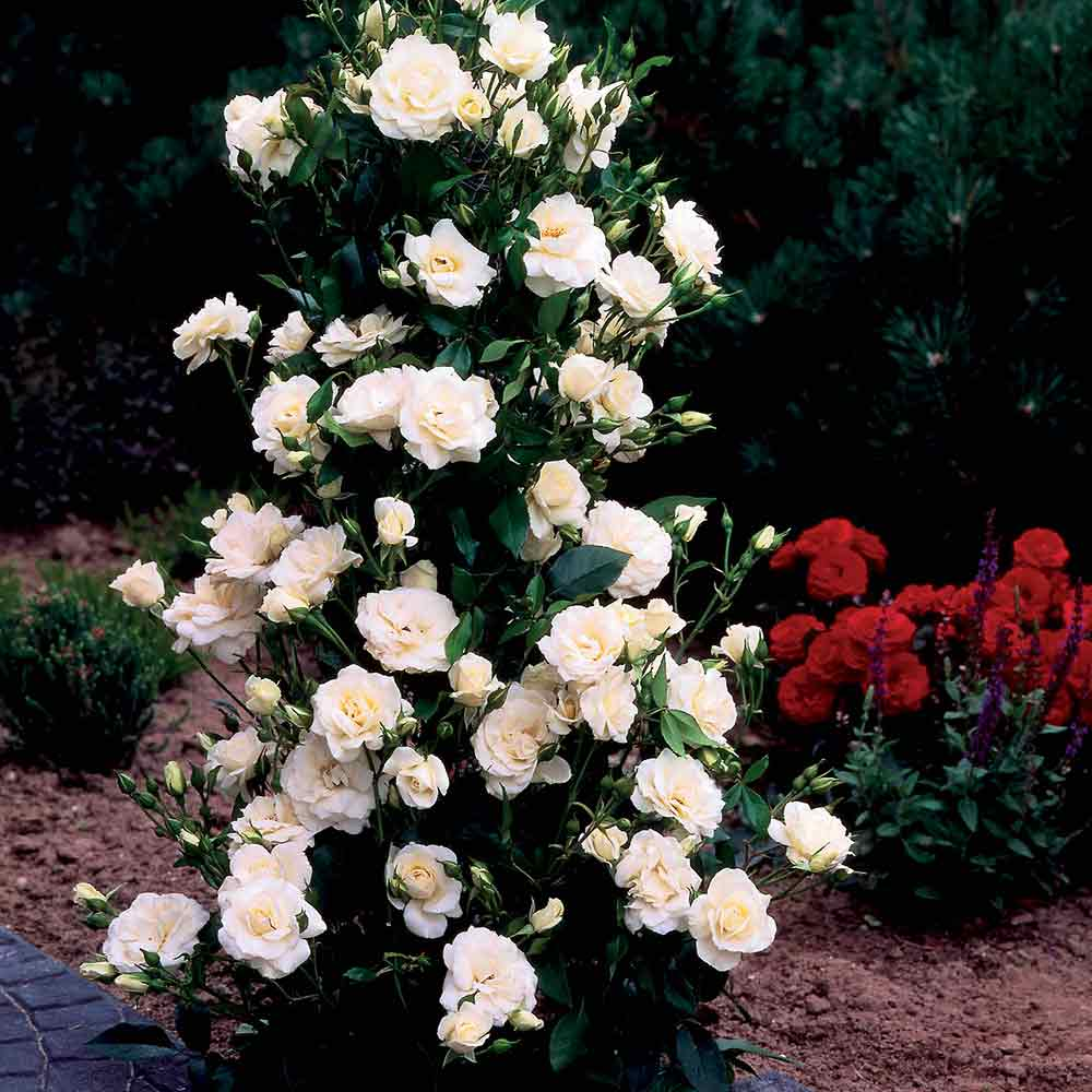 Mature climbing roses for sale