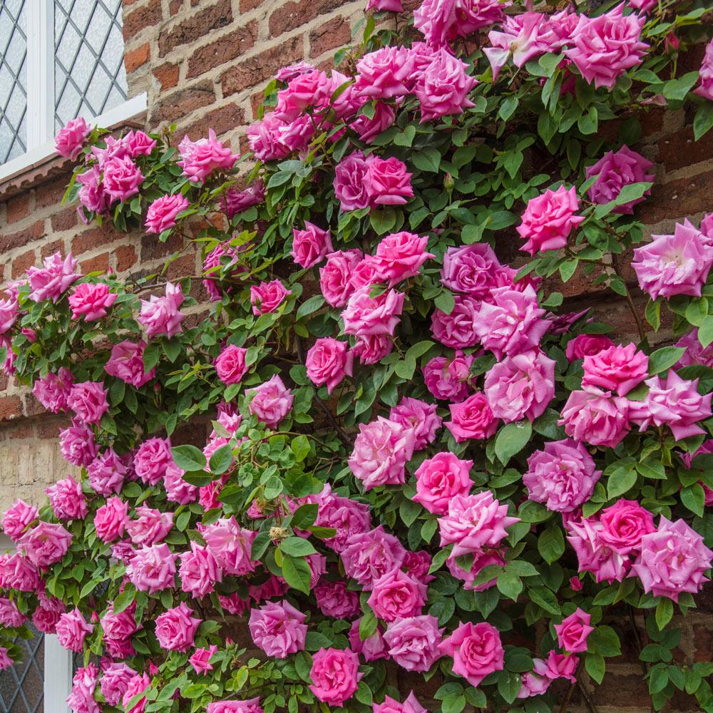 Zephirine Drouhin Climbing Rose buy rose climbing zephirine drouhin rose j parkers