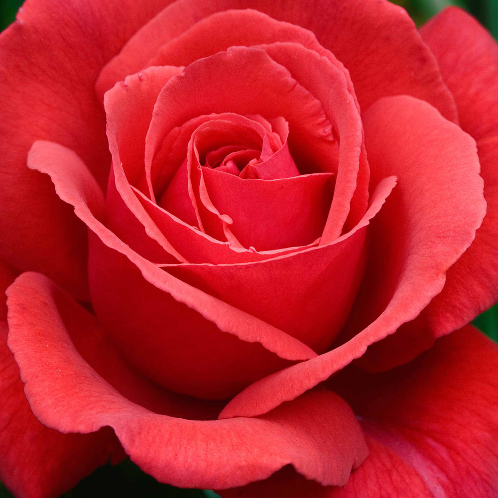 Buy Rose Fragrant Cloud J Parker Dutch Bulbs
