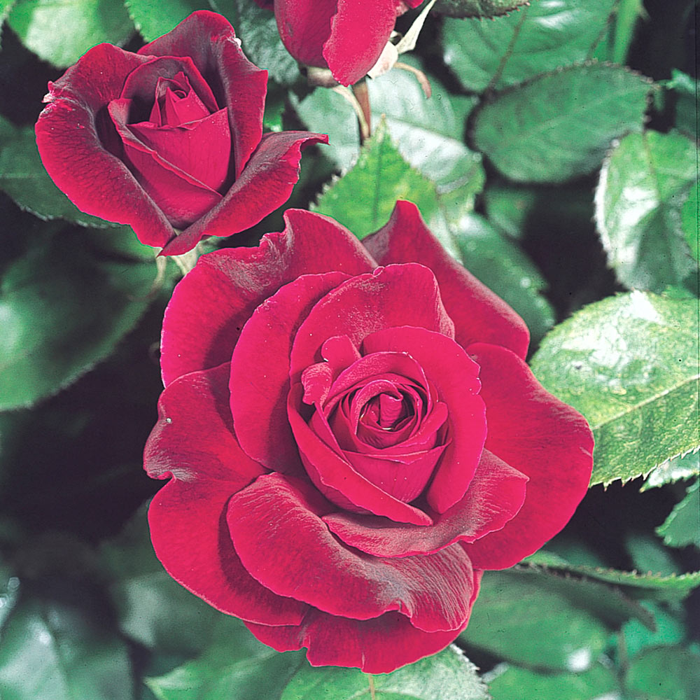 Buy Rose Ruby Wedding J Parker Dutch Bulbs