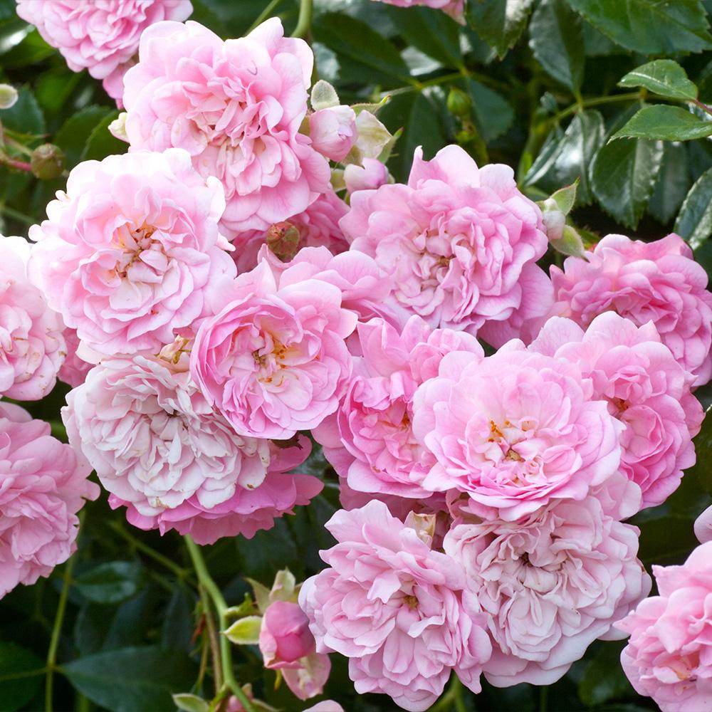 Buy Rose The Fairy Pink J Parker Dutch Bulbs