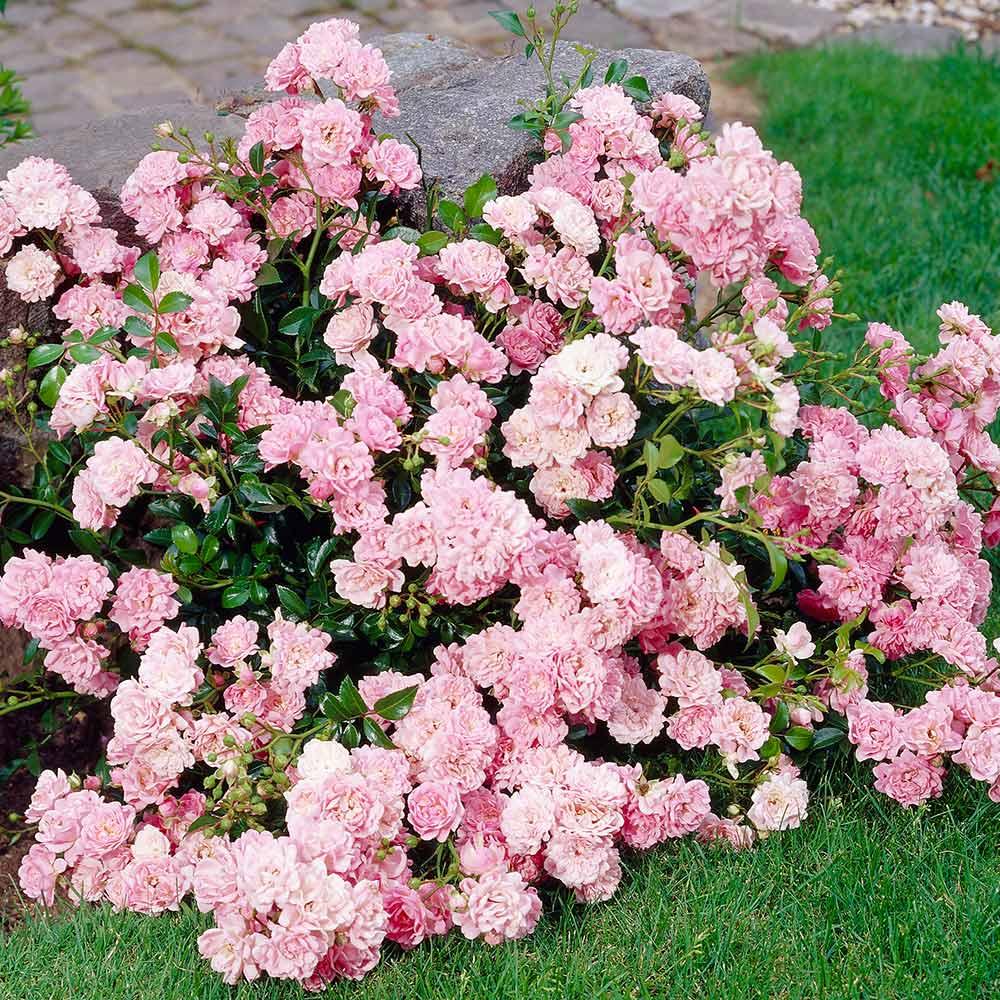 Buy rose the fairy pink j parker dutch bulbs rose the fairy pink mightylinksfo