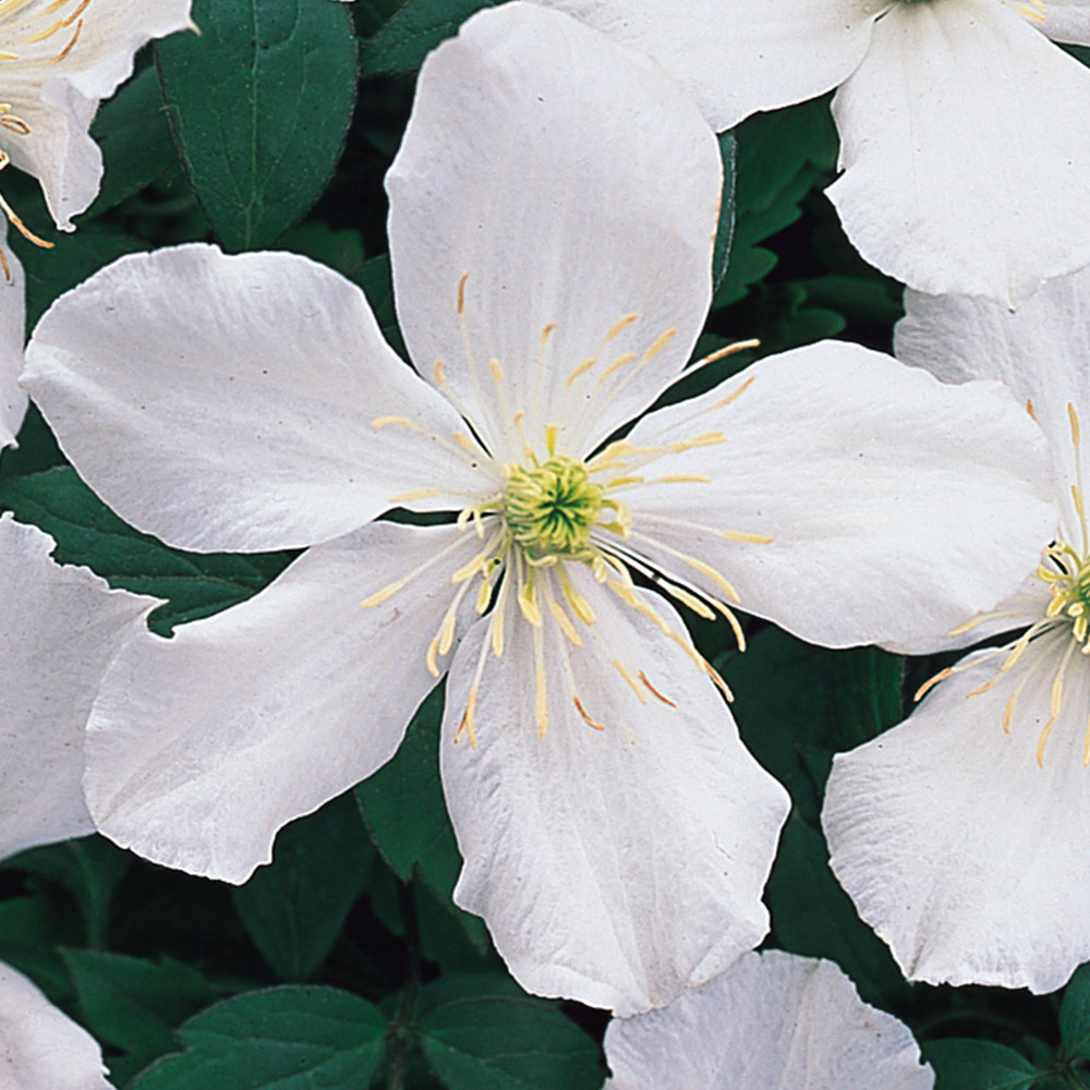 Buy Clematis Montana Alba J Parker Dutch Bulbs