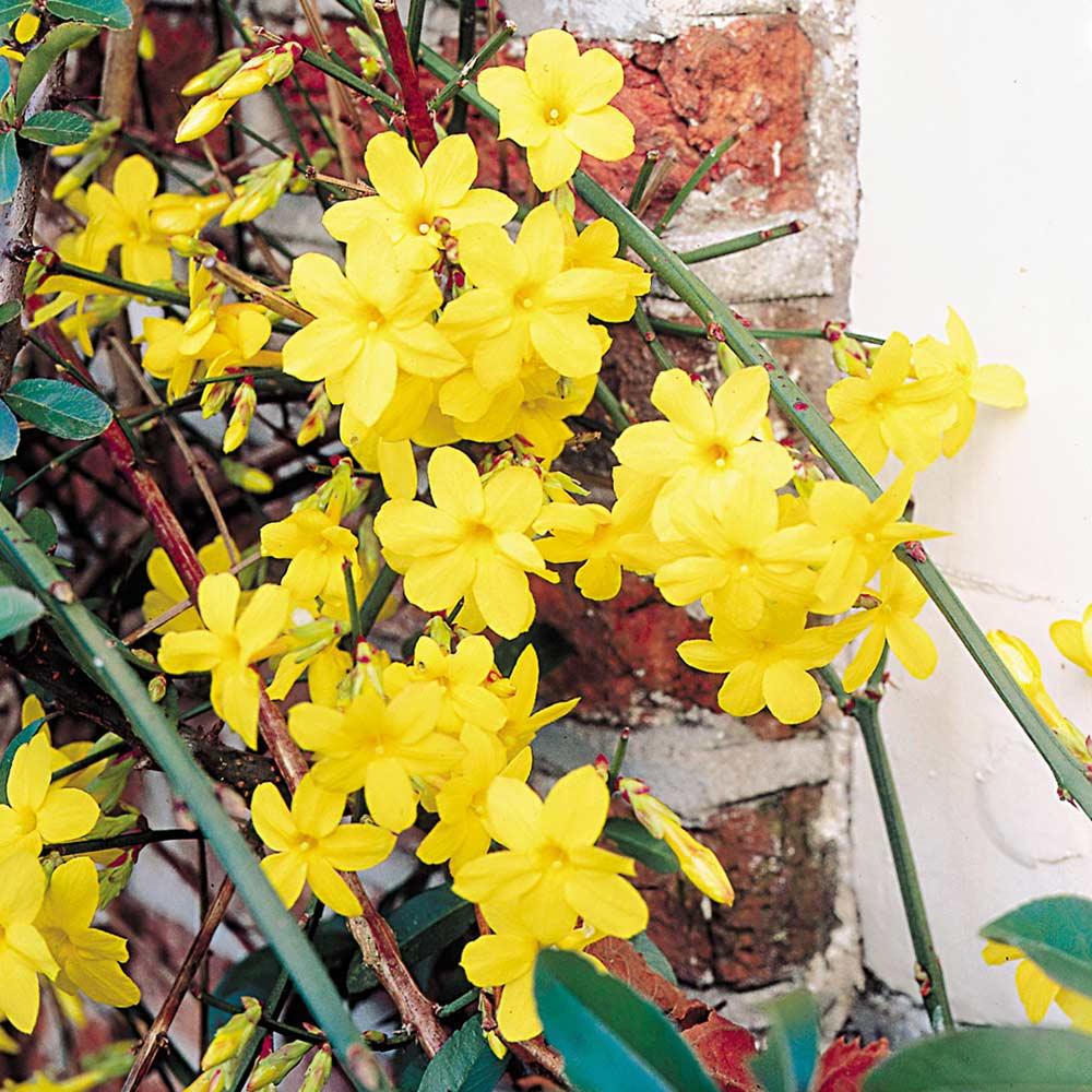Jasmine nudiflorum j parker dutch bulbs jasmine nudiflorum izmirmasajfo Image collections