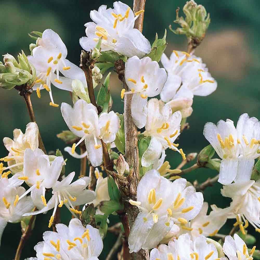 Buy Lonicera Purpusii Winter Beauty Shrubs J Parkers