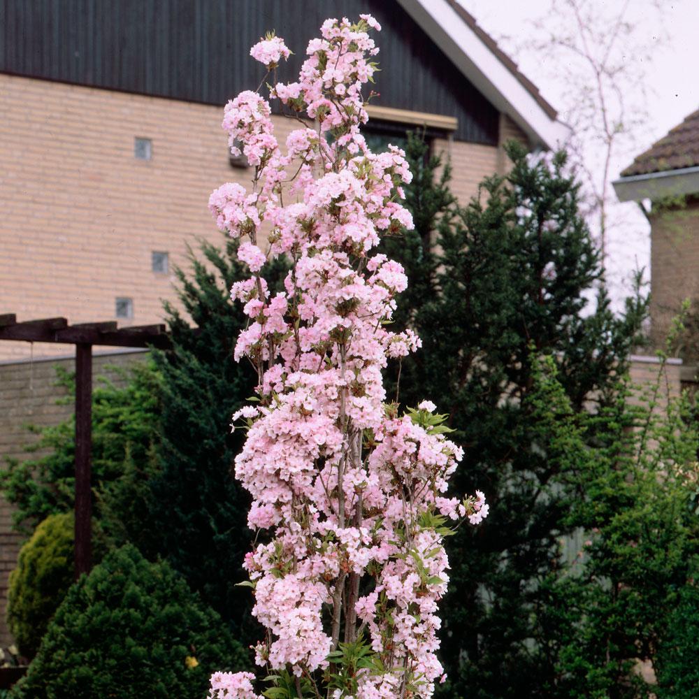 Buy Prunus Amanagowa J Parker Dutch Bulbs