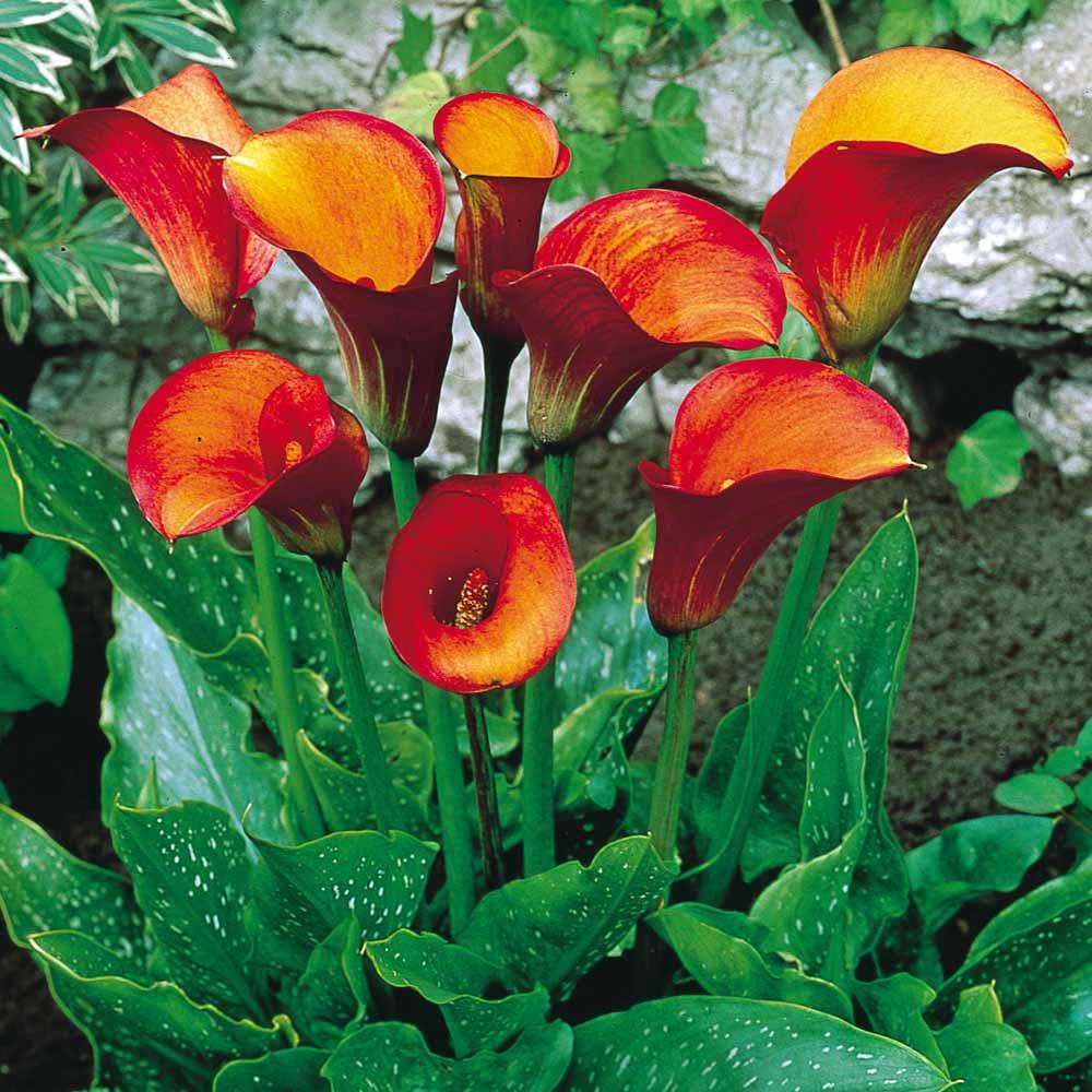 Zantedeschia Flame Calla Lily J Parker Dutch Bulbs
