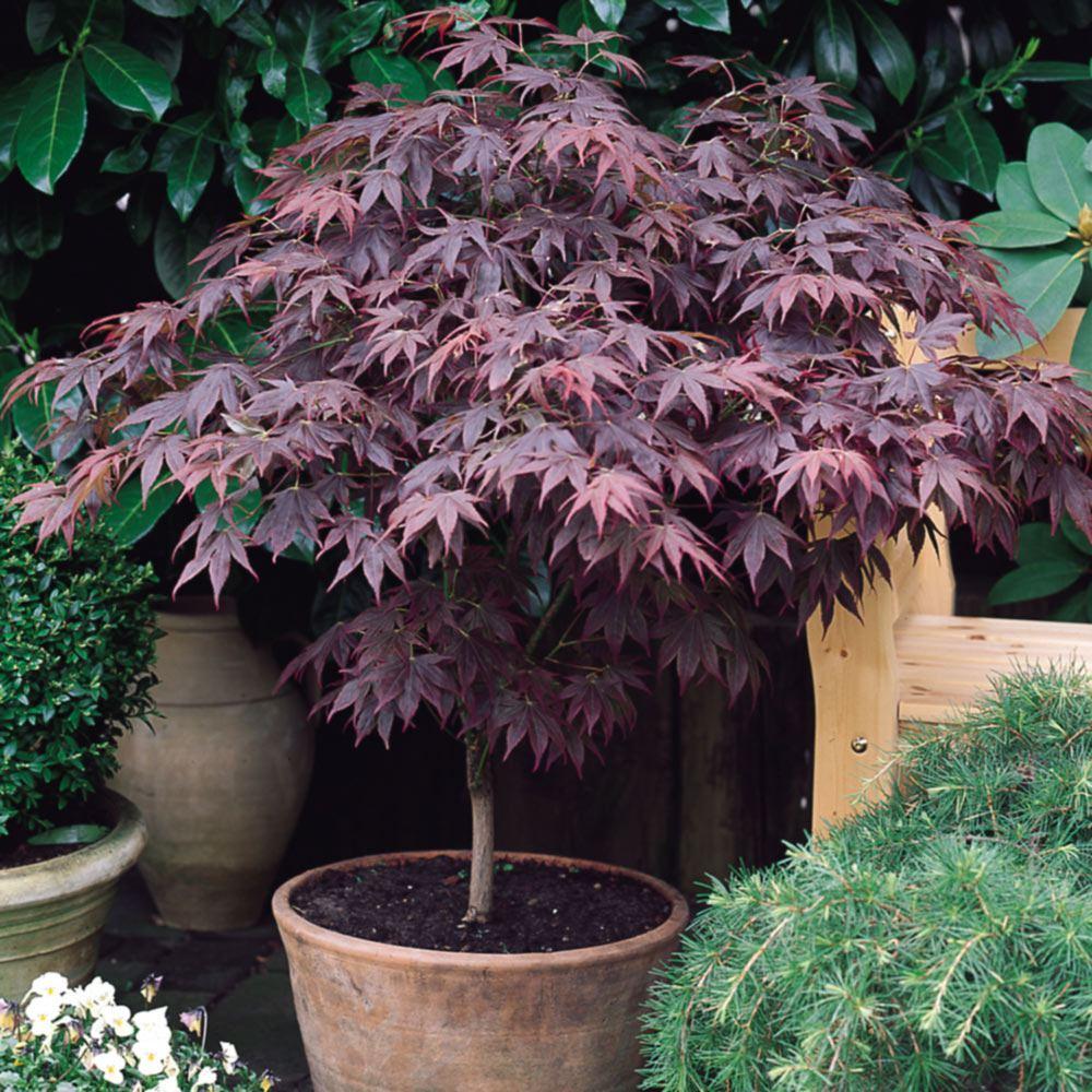 Japanese Maple Trees For Sale J Parker Dutch Bulbs