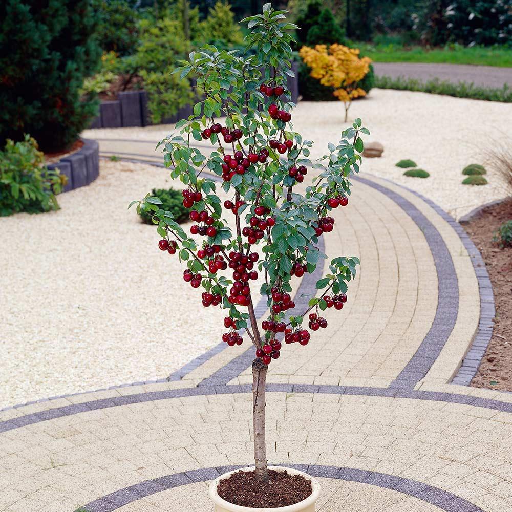 Cherry Kordia (Patio)
