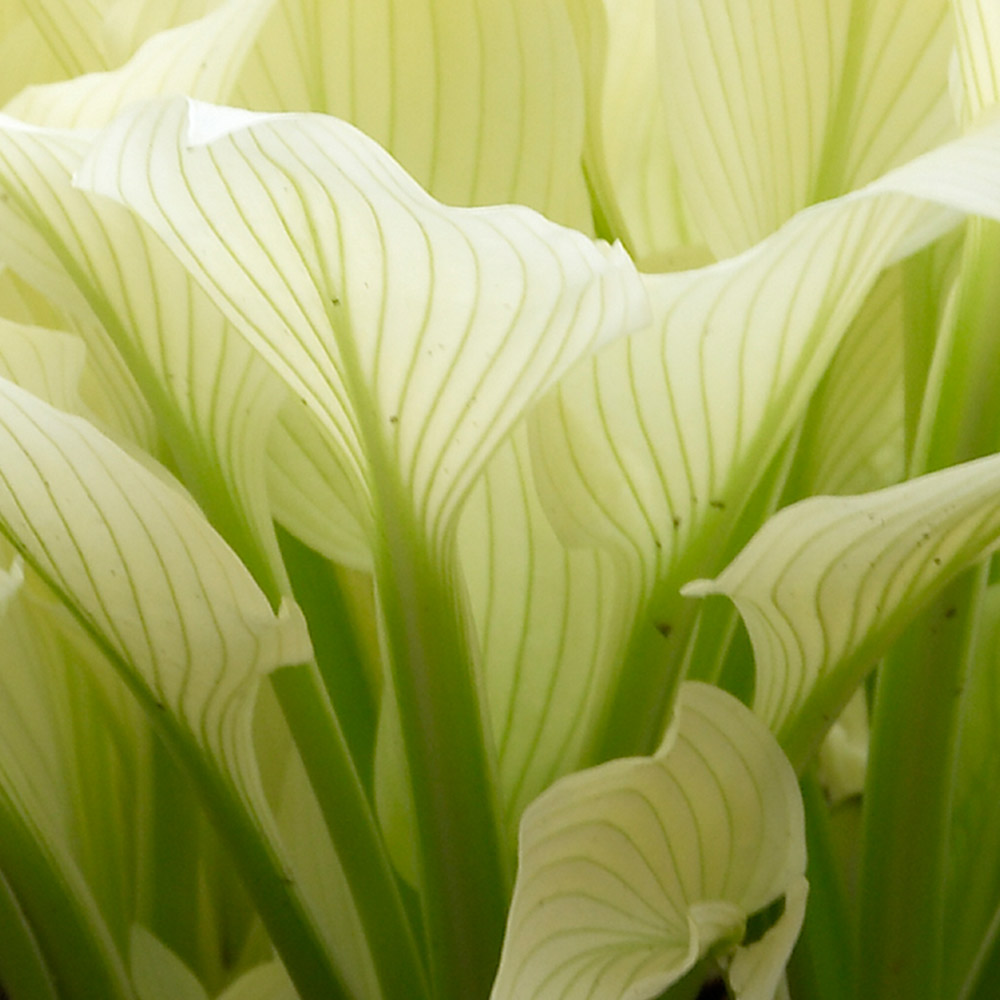 Buy Hosta White Feather Plants J Parker Dutch Bulbs