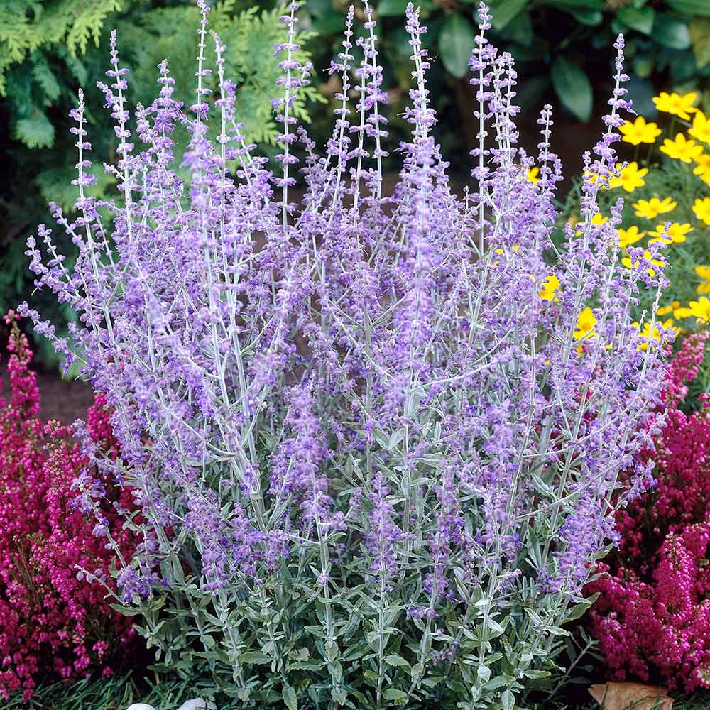 Picture of Live Russian Sage aka Perovskia atriplicifolia Plant Fit 1 Gallon Pot