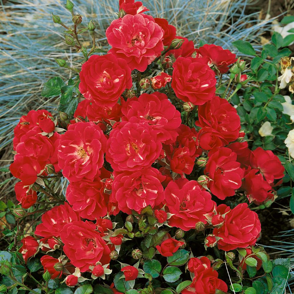 Buy Rose The Fairy Red J Parker Dutch Bulbs
