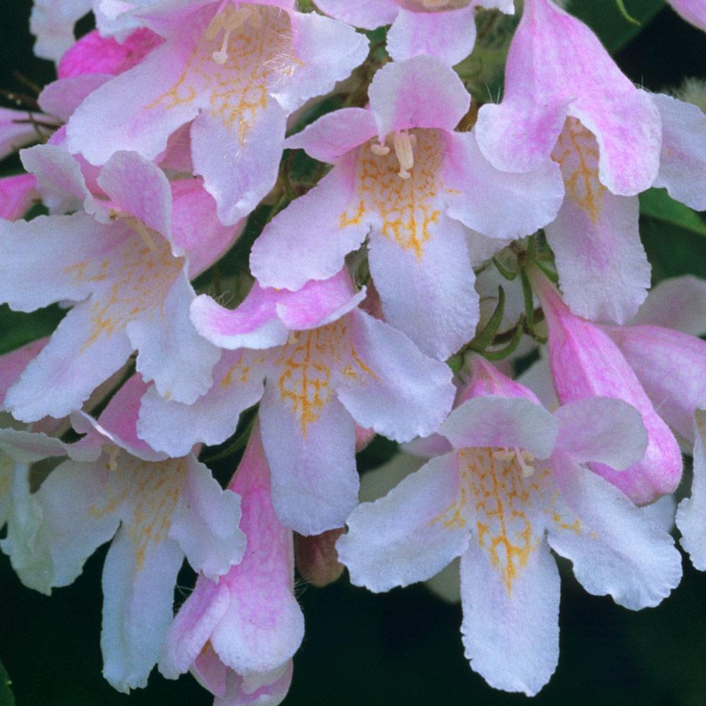 Kolkwitzia Amabilis Pink Cloud J Parker Dutch Bulbs
