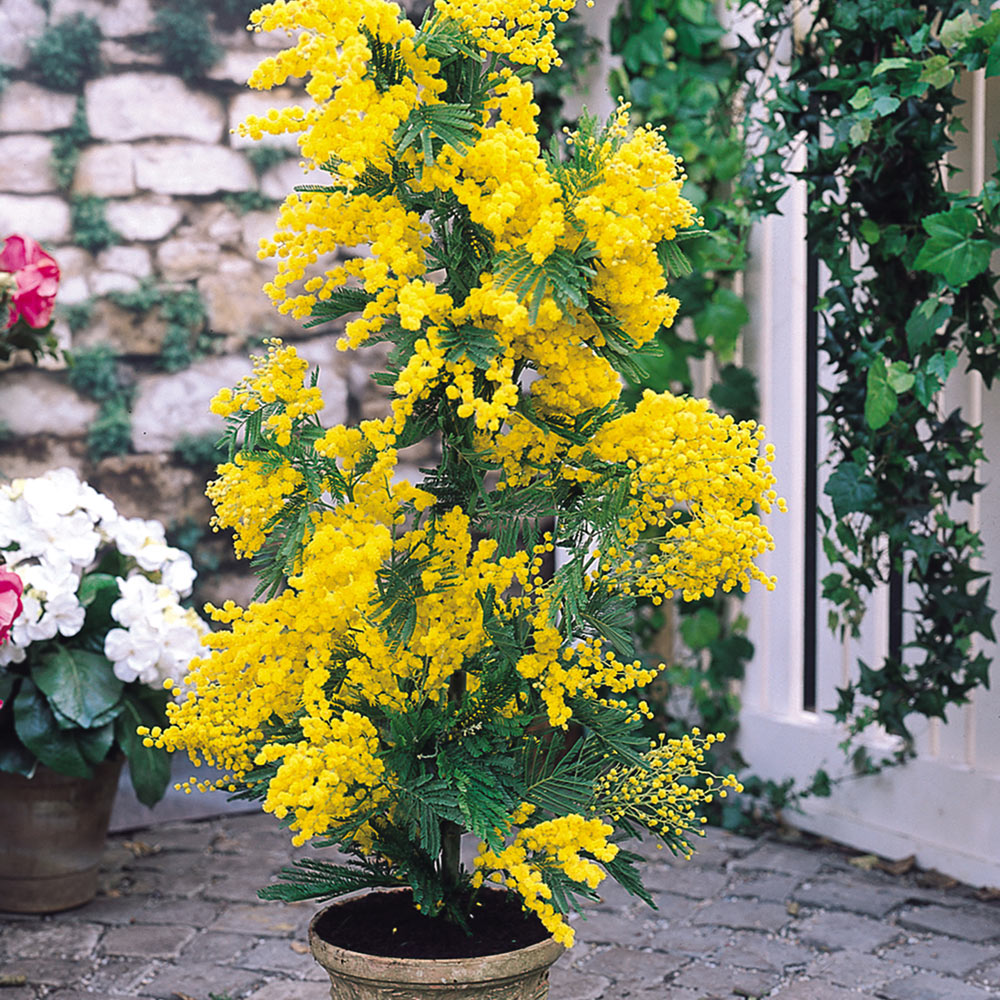 Buy mimosa acacia plants j parker dutch bulbs mimosa acacia mightylinksfo