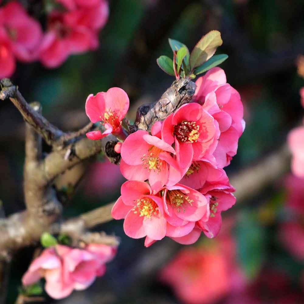 Chaenomeles Superba Pink Lady J Parker Dutch Bulbs
