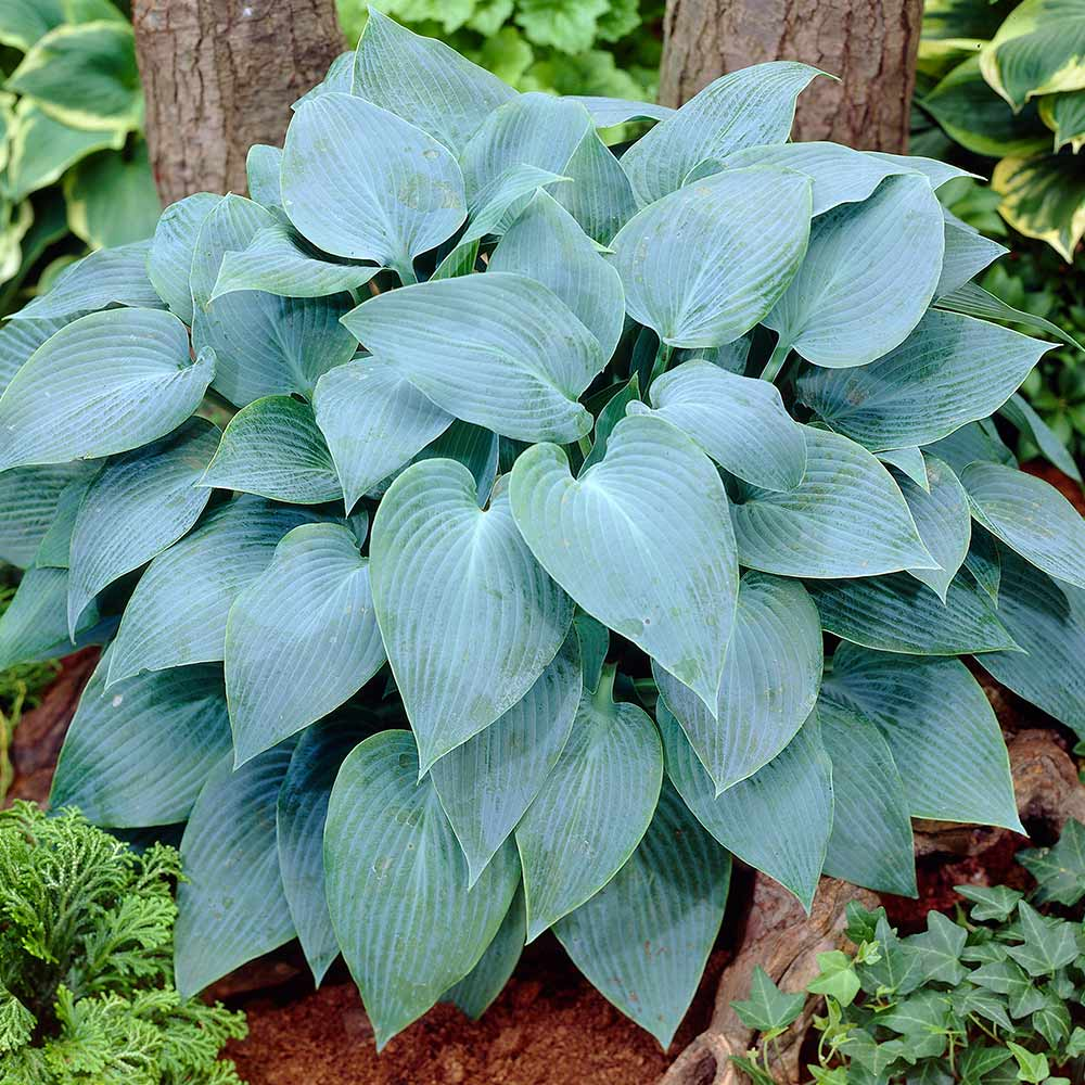 Hosta Canadian Blue J Parker Dutch Bulbs