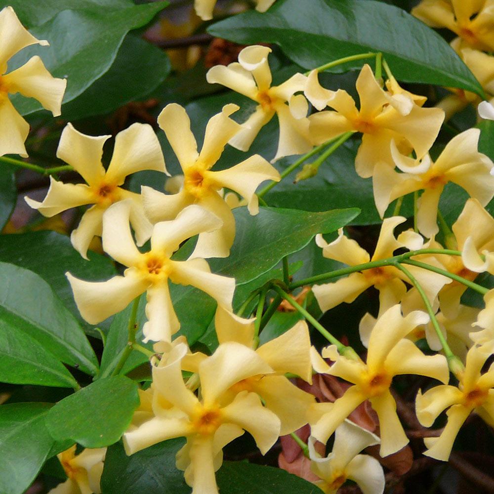 Trachelospermum star of toscane jasmine j parker dutch bulbs trachelospermum star of toscane jasmine izmirmasajfo Gallery