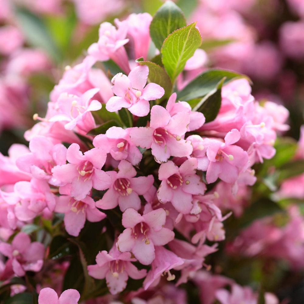 вейгела розеа фото