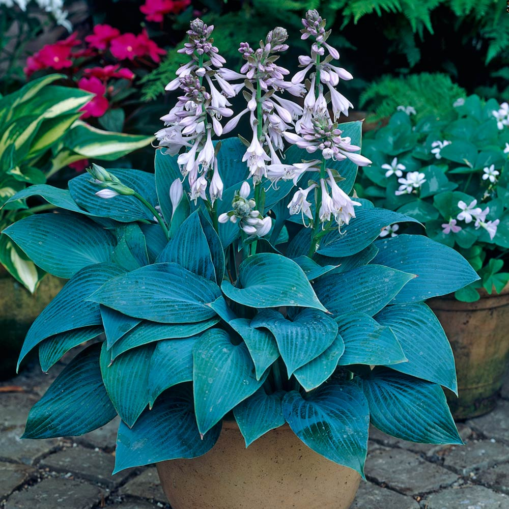Hosta Halcyon J Parker Dutch Bulbs