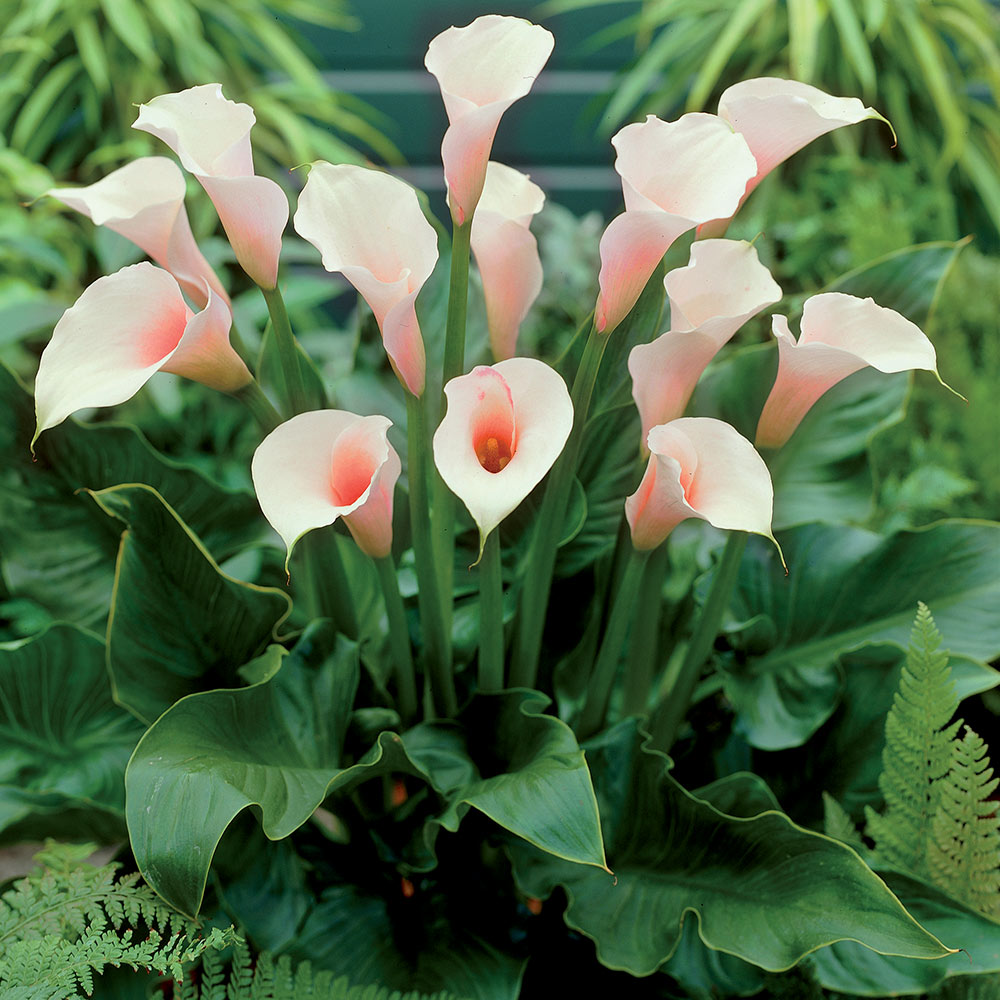 Buy calla lilies in the uk j parker dutch bulbs zantedeschia aethiopica pink mist calla lily izmirmasajfo