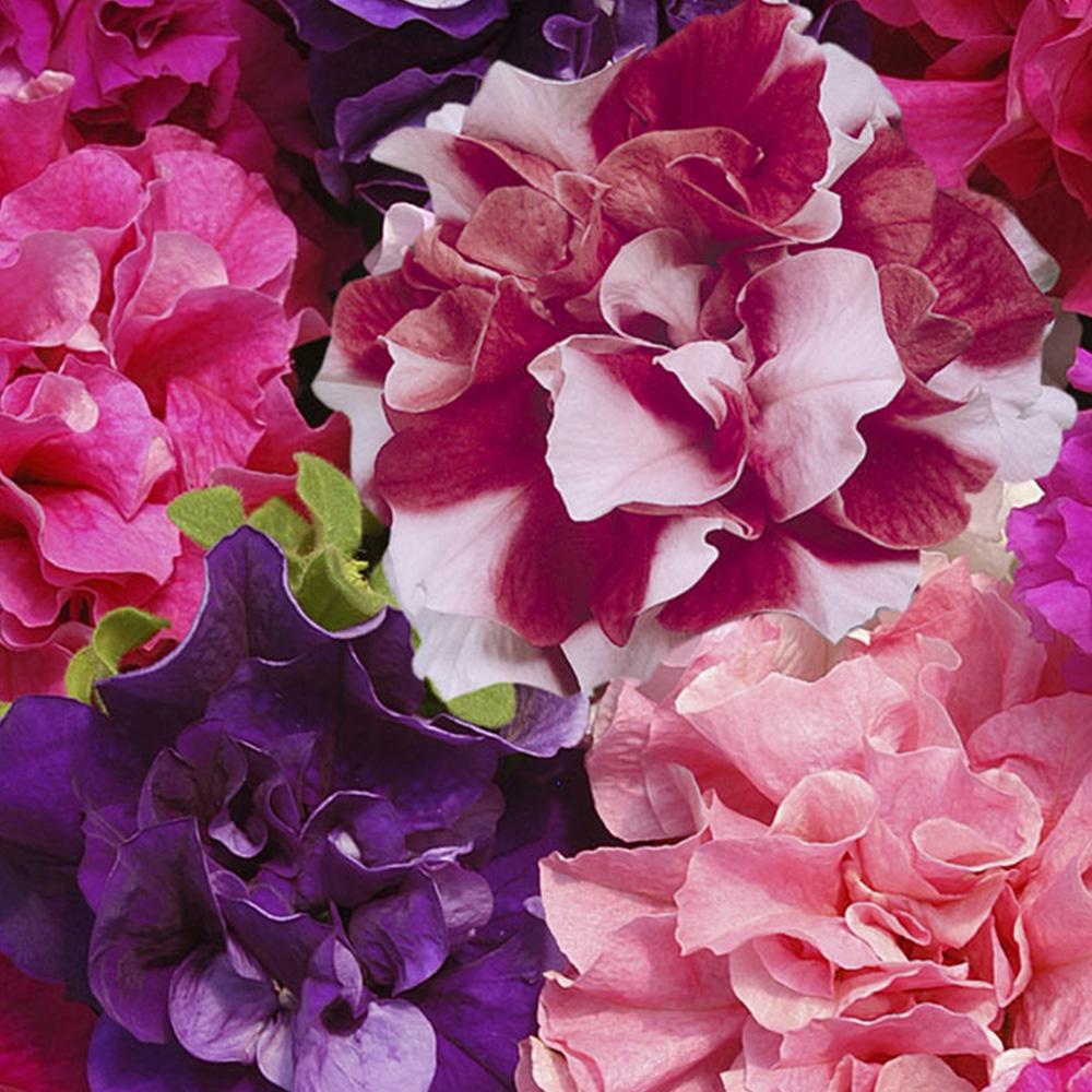 30 Petunia Double Duo Mix Summer Double Flower Summer Garden Bedding Plug Plants