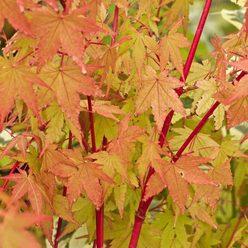 Picture of Live Coral Bark Maple aka Acer palm. 'Sangu Kaku' Plant Fit 5 Gallon Pot