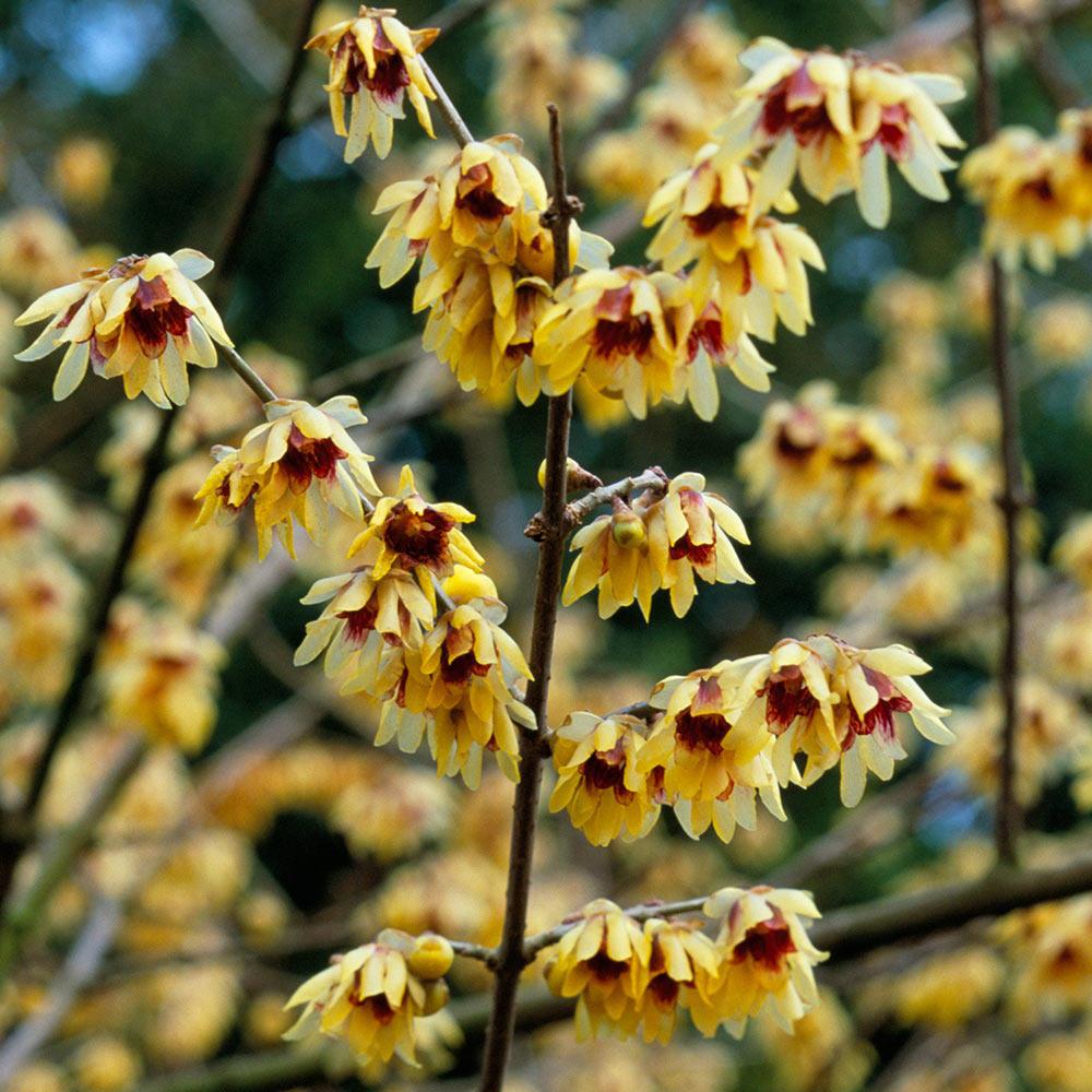 Winter Sweet 10 seeds Chimonanthus praecox Plants, Seeds & Bulbs