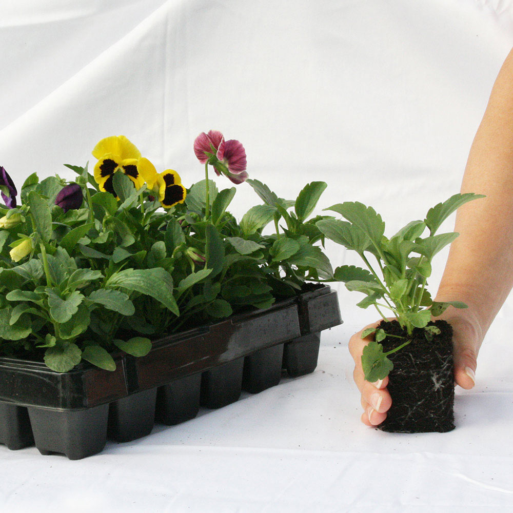 Bacopa Topia Mixed Basket Plug Plants x 5