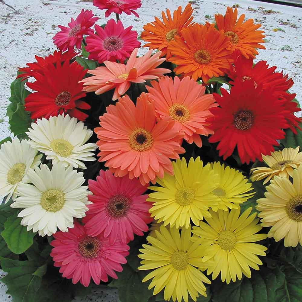 Gerbera revolution mix garden ready j parker dutch bulbs gerbera revolution mix garden ready izmirmasajfo