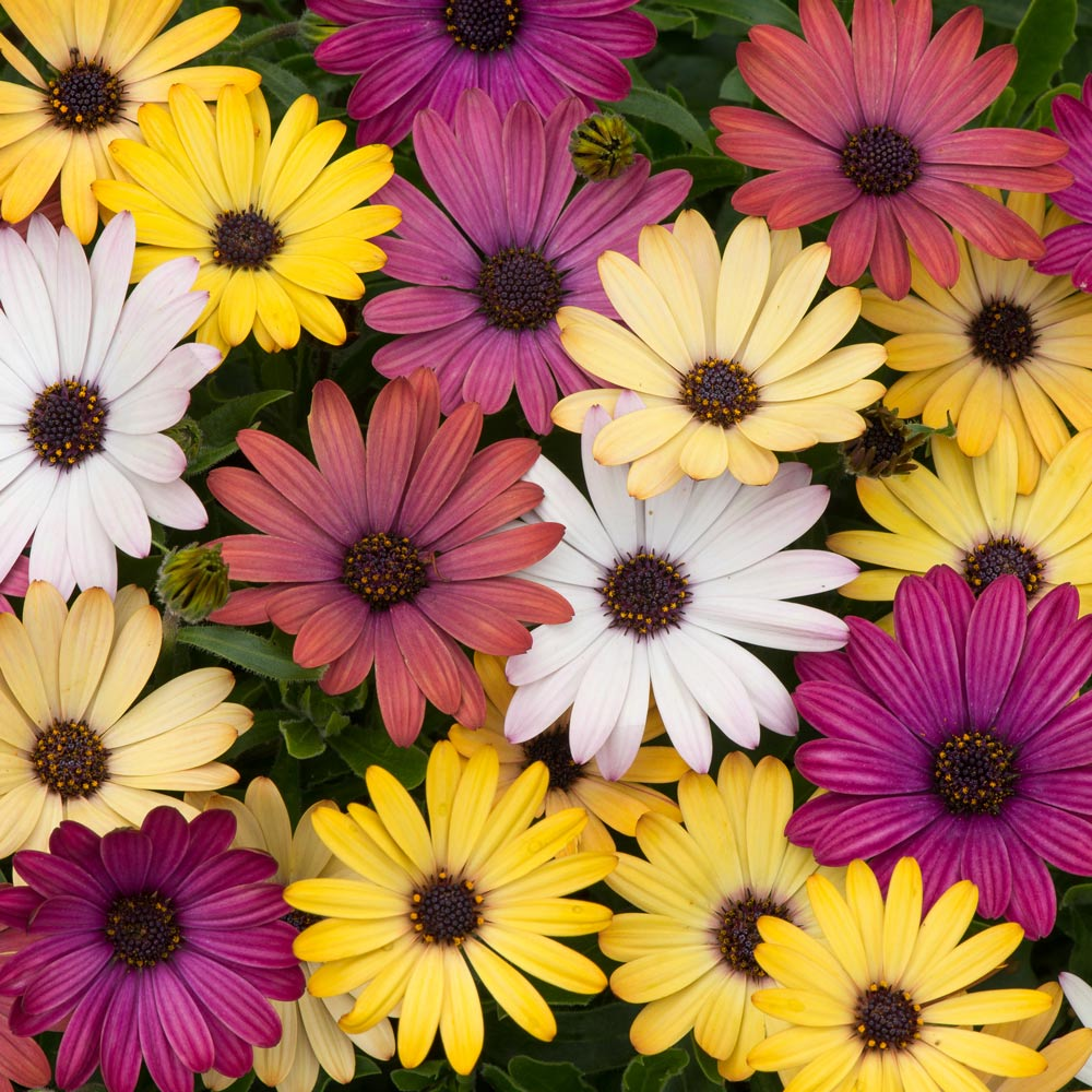 Osteospermum Akila Grand Canyon Garden Ready Mirror Garden