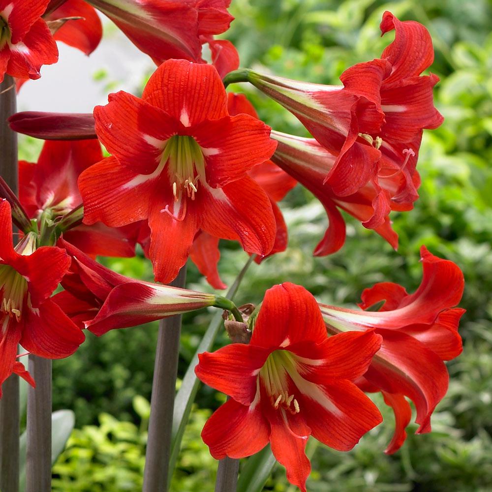 MULTI FLOWER BULB Amarylis Amaryllis Balentino Hippeastrum Conservatory Plant