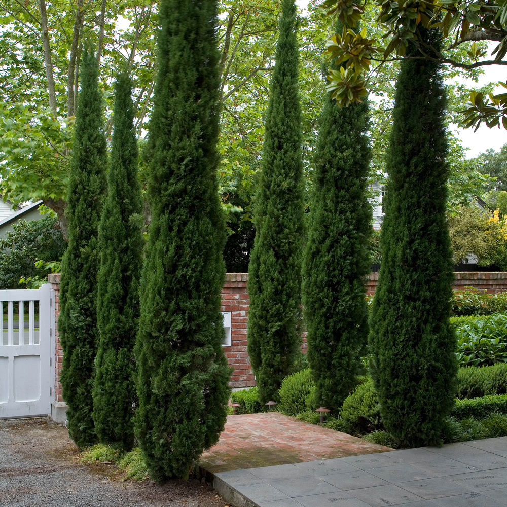 Picture of Live Totem Italian Cypress aka Cupressus s. 'Totem' Plant Fit 5 Gallon Pot